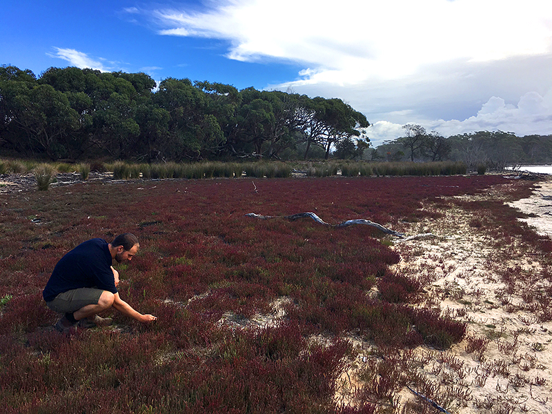 Saltmarsh at Middle Lagoon on the Far South Coast of NSW